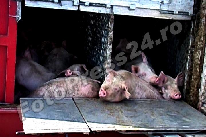 acc a1 porci (1)