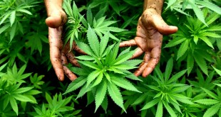 Israel grows medicinal marijuana in Safed