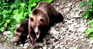 ursi dimbovicioara