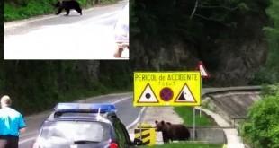 Urs iesit drum Transfagarasan